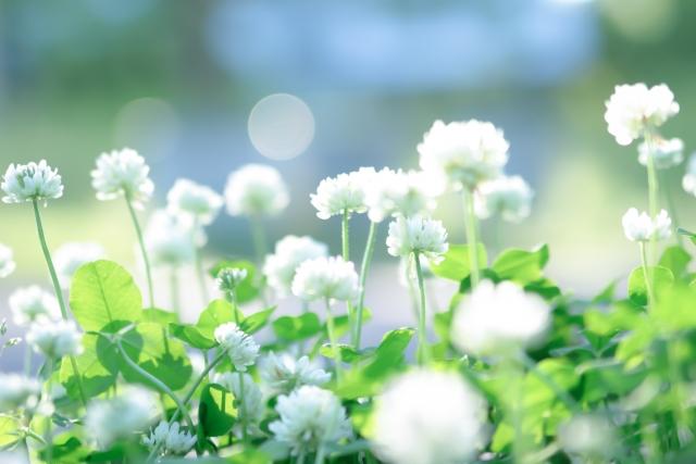 白詰草の花畑